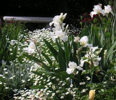 """White reblooming iris """"Frequent Flyer"""" paired with reseeding Paludosum Daisies makes a lovely plant combination."""