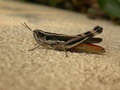 Here is a big tan and black, Australian grass hopper. Thank you Dhobern. http://www.flickr.com/photos/dhobern/