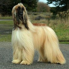 Afghan Hound - so elegant and beautiful Love these dogs.  Had two of them. Looks just like Trin.