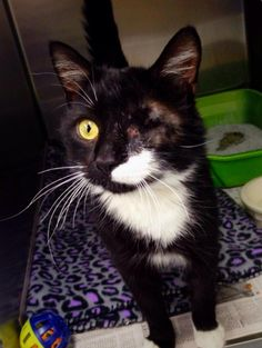 6/22/15♥♥♥ PLEASE DONT PASS ME BY! Meet Chomper, a Petfinder adoptable Domestic Short Hair-black and white Cat | Sarver, PA | Chomper has been here for about 2 months rehabilitating after being hit by a car. He was a stray...