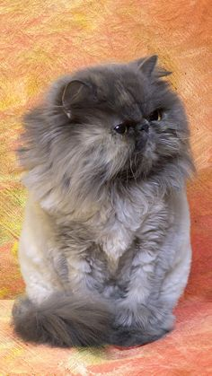 The Persian cat is an old cat breed yet little is known of its history. They are one of the most popular cat breeds in the United States. It is widely known for being quiet and sweet. Cute Cats And Kittens, I Love Cats, Crazy Cats, Cool Cats, Kittens Cutest, Pretty Cats, Beautiful Cats, Animals Beautiful, Cat Ideas