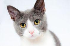 猫, ペット, 動物, 家畜化された, 毛皮, 肖像画, かわいい