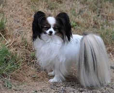 Papillon. Can I please have one of these. Look at the ears!!!!!!!