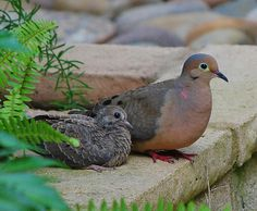 """""""On the Edge"""" - Mommy and Baby Mourning Doves All Birds, Cute Birds, Pretty Birds, Beautiful Birds, Nature Animals, Baby Animals, Cute Animals, Pigeon Breeds, Dove Pigeon"""