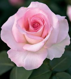 Pink Promise ~ Hybrid Tea Rose ~ Pink-cream.