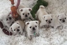 a passle of white pugs!