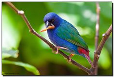 Blue-breasted Parrot-finch
