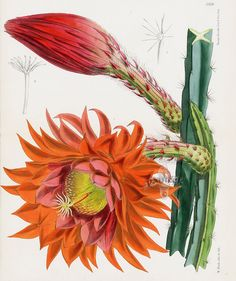 Cereus Fulgidus Cactus from Tropical botanical lithographs from the Fitch Curtis Years