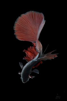 Pretty Fish, Beautiful Fish, Colorful Fish, Tropical Fish, Fish Wallpaper Iphone, Koi Betta, Gothic Flowers, Underwater Animals, Deep Sea Creatures