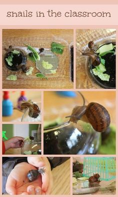 What more can I say? Snails in the classroom, one of my favorite things and now one of my classroom's favorite things. The Sunday morning ...