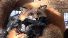"""Недалеко від японського міста Сіроісі знаходиться заповідник """"Лисяче село Дзяо"""", в якому живуть шість видів лисиць. Це лисяче село насправді є великим зоопарком, в якому можна не ..."""