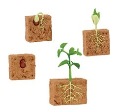 Bean Growing Stages - Google Search