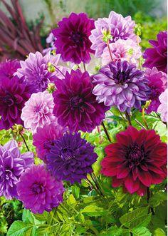Daalia Purple Passion lajitelma 5kpl/pakk.
