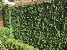 Plants for Dallas - Your Source for the Best Landscape Plant Information for the Dallas-Ft. Worth MetroplexBest Vines for Dallas, Texas — Vertical Vegetable Gardens, Indoor Vegetable Gardening, Container Gardening, Wall Climbing Plants, Climbing Vines, Planting Vines, Lady Banks Rose, Vine Fence, Fast Growing Vines