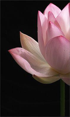 Lotus Flower - Lotus_Petal, Lotus_Petals, IMG_0773 by Bahman Farzad, via Flickr
