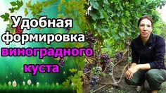 Выращивание винограда - это творческий процесс. Правильная #обрезкаВинограда и #формировкаКустов - залог хорошего урожая и удобства работы виноградаря. Дата ...