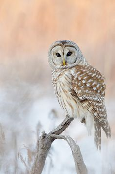 A Northern Barred Owl. I'm a huge fan of Bokeh photography. Photograph - Northern Barred Owl. By Maxime Riendeau on 500px