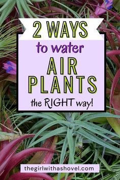 Air plants are super cute and can be easily incorporated into your spaces. However, they have unique watering needs that leaves most people killing their air plants when they use the same watering techniques as other houseplants. So here's what you need to know in order to correctly water your air plants so they thrive! Air Plants, Indoor Plants, Low Lights, Plant Care, Houseplants, Diy Design, Succulents, Herbs, Leaves