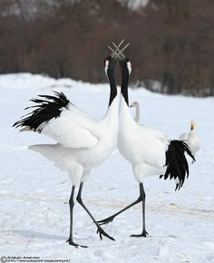 Japon - grue du Japon . tanchō Red-crowned Cranes - Grus japonensis