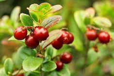 Pěstování pro labužníky: víno a omáčka z vlastních brusinek - Užitková zahrada Vegetables, Fruit, Vegetable Recipes, Veggies