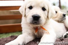 6 week old English Golden Retriever www.nicholberrygoldens.com Best Dogs For Families, Family Dogs, English Golden Retrievers, Old English, Animal Kingdom, Cute Puppies, Cute Babies, Labrador Retriever, Animals
