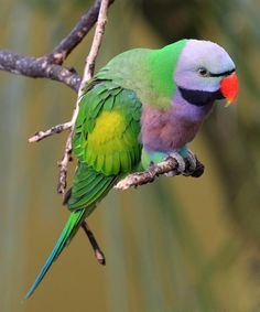 The Lord Derby's Parakeet (Psittacula derbiana), also known as Derbyan Parakeet, is a monotypic[2] parrot species, which is confined to small pocket of moist evergreen forest in the hills of the Indian state of Arunachal Pradesh and the adjoining parts of Tibet. The species suffers from poaching for the illegal wildlife trade and fetches a high price in the black market. It is perhaps the rarest of all species of Psittacula in mainland Asia.