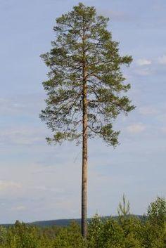 Tall / Pinus sylvestris