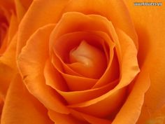 orange flowers | Posted by flowers143 at 05:52