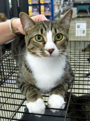 Happy Tails Rescue, Appling, GA     •706-955-0438    Mr Tubbs is an adoptable Domestic Short Hair Cat in Appling, GA. Mr Tubbs is now 16 months old (on Nov 1, 2009) and has grown to be quite a handsome fellow. This boy is friendly and loving .... a typi...