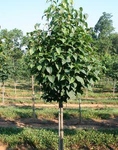 Syringa Ivory Silk  Tree Lilac