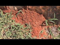 If you spend much time outside in Georgia, you've come across fire ant mounds.  These stinging pests will take up residence in yards, gardens, and pastures, and their attacks can be painful and often deadly.  But they can be controlled, and they can even have some beneficial effects.  Kenny Burgamy explains.