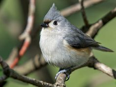 titmouse - we get these at our feeders, and they're so cute