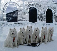 I'm begging Drew to let me have a Samoyed sled dog team someday. :) He said maybe two. lol