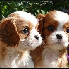 Joli Coeur & Jesabelle - Blenheim Puppies in the autumn Sun.