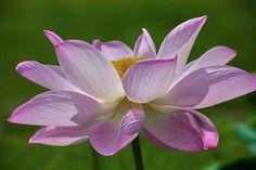 Lotus   by Eddy Tsai