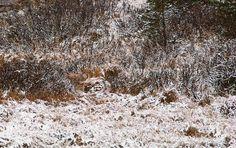 camuflaje perfecto, encuentra al coyote - ALLPE Medio Ambiente Blog Medioambiente.org