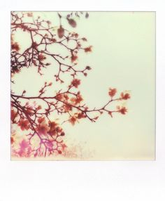 Tree in Bloom | Polaroid SX70