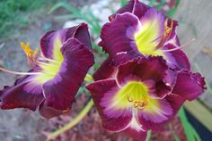 """my prized daylily at otter creek primitives, this is """"one"""" of my favorites!"""