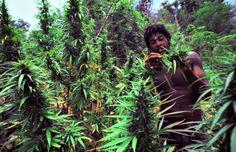JAMAICA MOVES CLOSER TO MARIJUANA DECRIMINALIZATION   CannaMagazine.com #Jamaica #Marijuana #Ganja #Herb #Green #Decriminalization #Medical #GlobalWeed #Caribbean