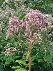 Joe Pye weed * NC native * Height: 5.00 to 7.00 feet * Spread: 2.00 to 4.00 feet * Bloom Time: July to September * Full sun to part shade * Water: Medium * Attracts: Butterflies *  Tolerate: Deer, Clay Soil, Wet Soil