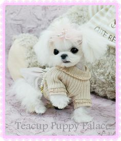 "Képtalálat a következőre: ""(Luxury Micro Teacup Puppy"" Micro Teacup Puppies, Teddy Bear, Luxury, English, Animals, English English, Animales, Animaux, Teddybear"