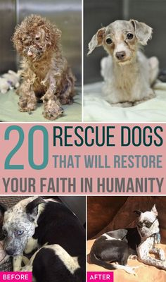20 Rescue Dogs That Will Restore Your Faith In Humanity Check out these unbelievable dog rescues photos and see the amazing before and after dog adoption images that show. Samoyed Dogs, Chihuahua Dogs, Dogs And Puppies, Big Dogs, Cute Dogs, Rescue Dogs, Animal Rescue, Girl Dog Clothes, Dog Anatomy
