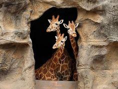 Giraffes at the Taronga Zoo in Sydney, Australia