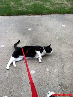 Hueys Not Getting The Whole Walking Thing. - http://cutecatshq.com/cats/hueys-not-getting-the-whole-walking-thing/