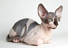 Least Hairy Cat Breed — Sphynx:  With her wrinkly face, lemon-shaped eyes & huge ears, the Sphynx truly looks like she's out of this world. Instead of having fur, the breed's skin is covered in a fine down, like that of a peach. And though she is hairless, it doesn't mean you're off the hook for grooming her; the breed must be bathed frequently to prevent clogged pores from oily skin. #dogbreedsthatdontshed #catgroomingfaces