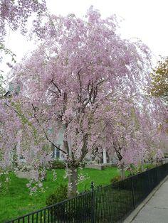 Find Weeping Higan Cherry (Prunus subhirtella 'Pendula') in Louisville Indiana Kentucky KY at Wallitsch Garden Center (Spring Cherry, Rosebud Cherry) Pink Trees, Pink Flowers, Landscape Nursery, Soil Ph, How To Attract Birds, Deciduous Trees, Prunus, Fantasy Inspiration, Rose Buds