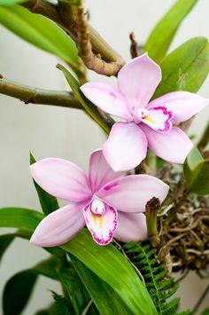 How to make a gumpaste Cymbidium Orchid (Lulu's Sweet Secrets).