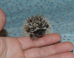 Baby hedgehog! Sorry about all the hedgehogs but I want one.. On an unrelated note, my bday is coming up ;)