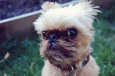 """he is a Brussels Griffon, they were in the movie """"As Good as it Gets""""!"""
