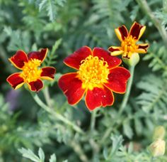 Reasons to grow marigolds..In late spring, after the soil has warmed, sow a cheap packet of marigold seeds in a small nursery bed that is convenient to weed and water. When the marigold seedlings grow to 4 inches (10 cm) high, dig and move them to places where you want bold fall colour.